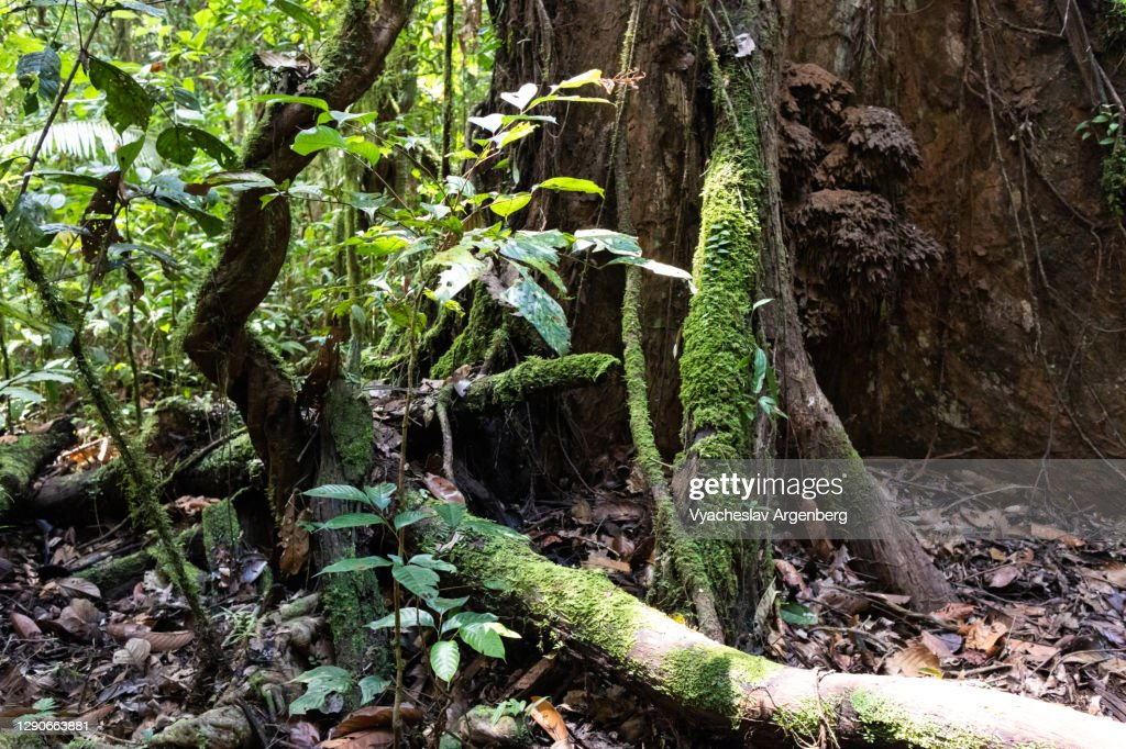 Forest floor, Borneo, Malaysia : Stock Photo
