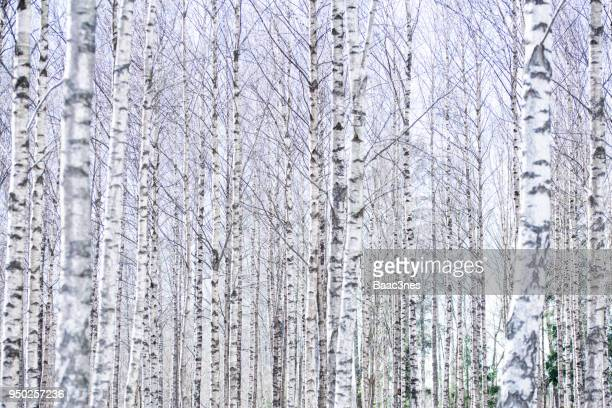 Forest full of naked Birch trees