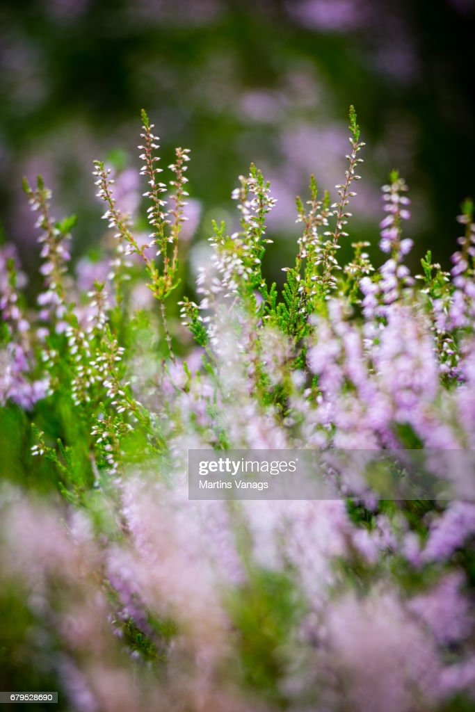 Forest heather flowers and blossoms in spring stock photo getty images forest heather flowers and blossoms in spring stock photo mightylinksfo