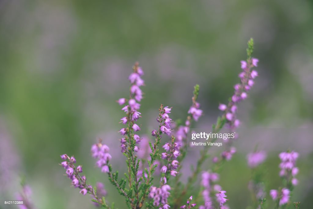 Forest heather flowers and blossoms in spring vintage film look forest heather flowers and blossoms in spring vintage film look stock photo mightylinksfo