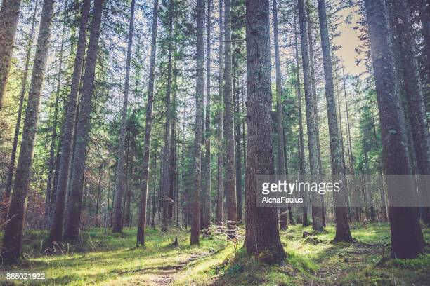 forest in alps - tall high stock photos and pictures