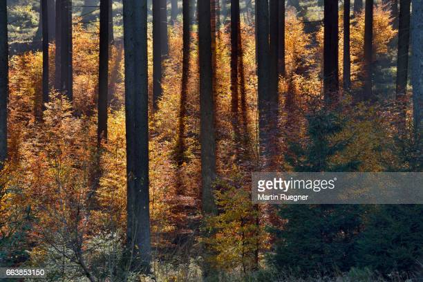 Forest in autumn colors, backlight.