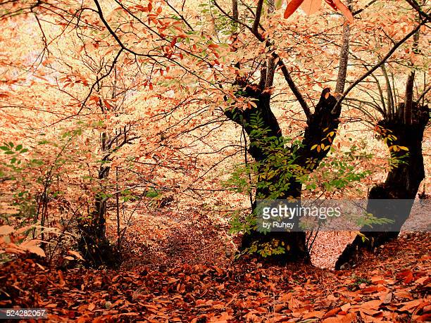 forest in autumn - medulla stock pictures, royalty-free photos & images