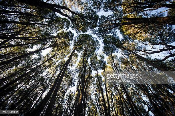 forest in bariloche, patagonia - radicella stock pictures, royalty-free photos & images