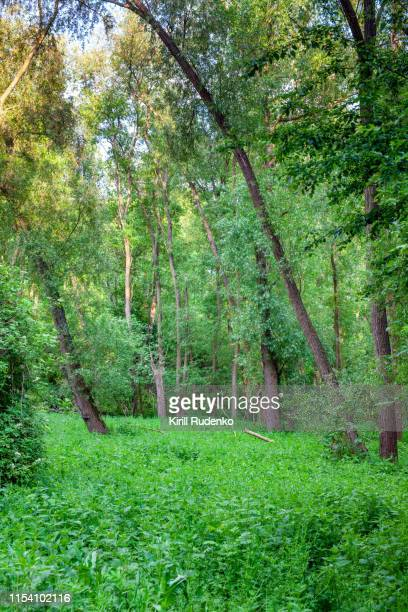 forest in central bohemian region, czech republic - elm tree stock pictures, royalty-free photos & images