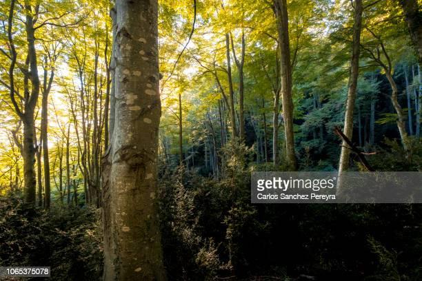 forest in fall - catalunha imagens e fotografias de stock