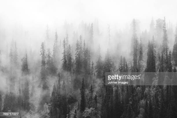 forest in fog - black and white nature stock pictures, royalty-free photos & images