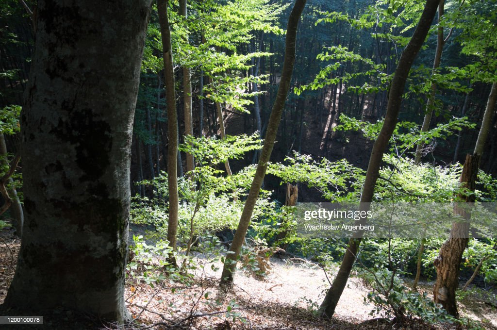Forest in Haphal Canyon, sunlight through canopy, Crimea : Stock Photo