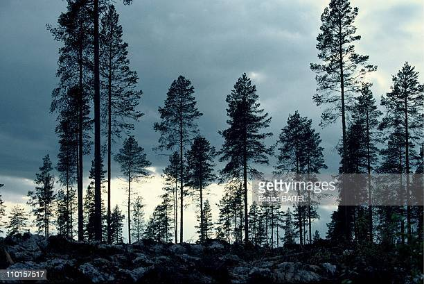 Forest in Norrbotten, Sweden in September, 1994.