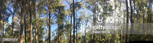 forest in perth hills western australia - rafael ben ari stock-fotos und bilder