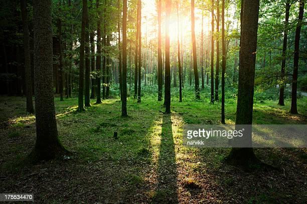 日没の光の中の森
