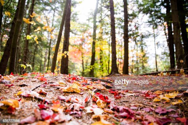forest in the fall - árbol de hoja caduca fotografías e imágenes de stock