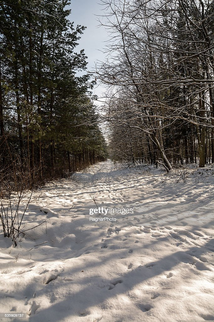Forest in winter : Stock Photo