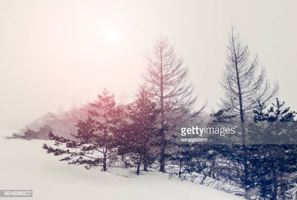 forest in winter snowy field. - wiratgasem stock photos and pictures
