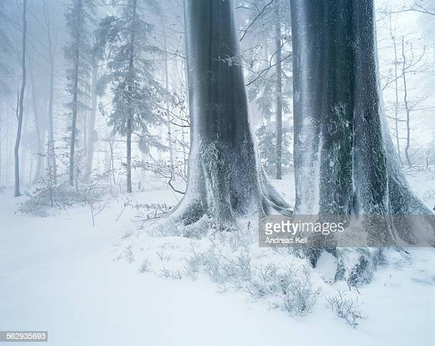 Forest in winter with frost, fog and snow, Battertfelsen, Baden-Baden, Black Forest, Baden-Wuerttemberg, Germany, Europe