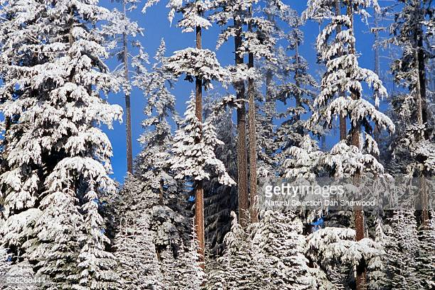 forest in winter with frost - dan sherwood photography stock pictures, royalty-free photos & images
