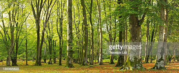 forest interior, dorset, england - newpremiumuk stock pictures, royalty-free photos & images