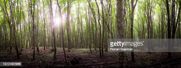 A forest is pictured in Transilvania on July 26 2018 in Iacobeni Romania