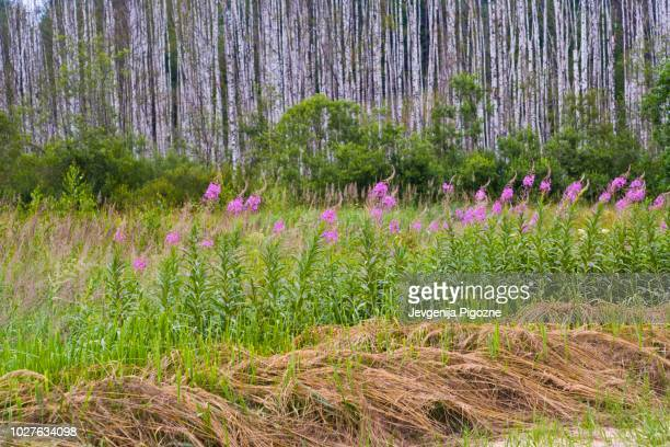 forest, latvia, northern europe - state stock pictures, royalty-free photos & images