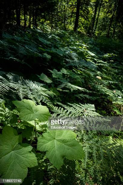 Forest leaves West Kootenays British Columbia Canada
