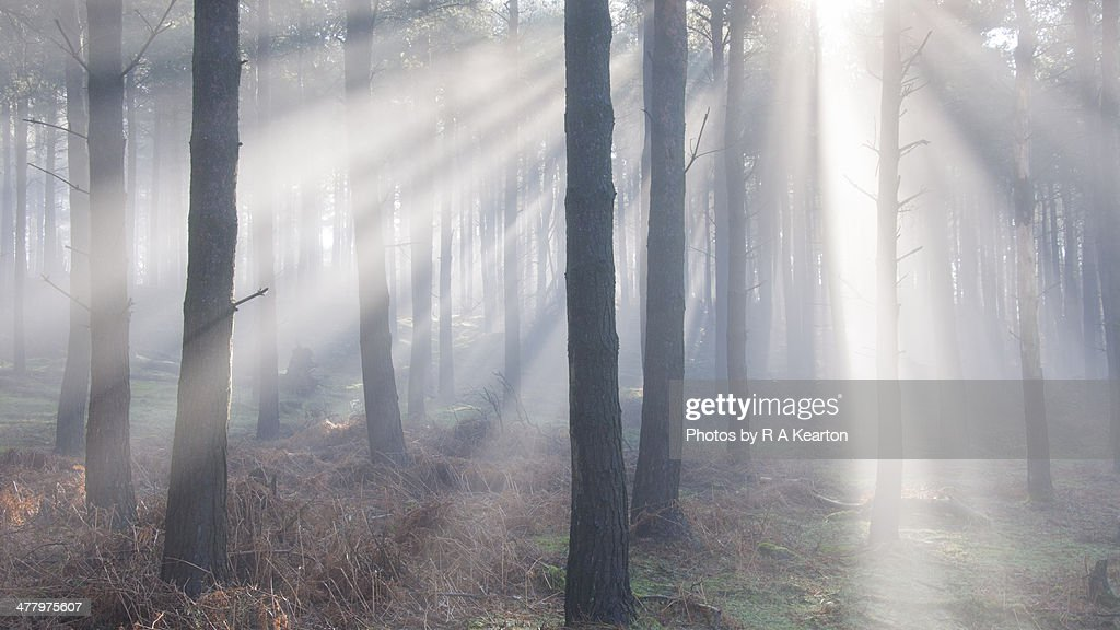 Forest light beams : Stock Photo