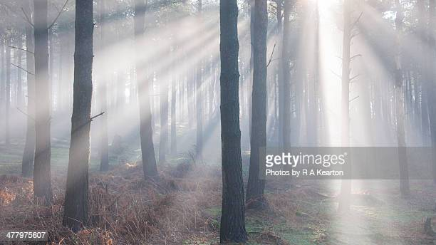 Forest light beams