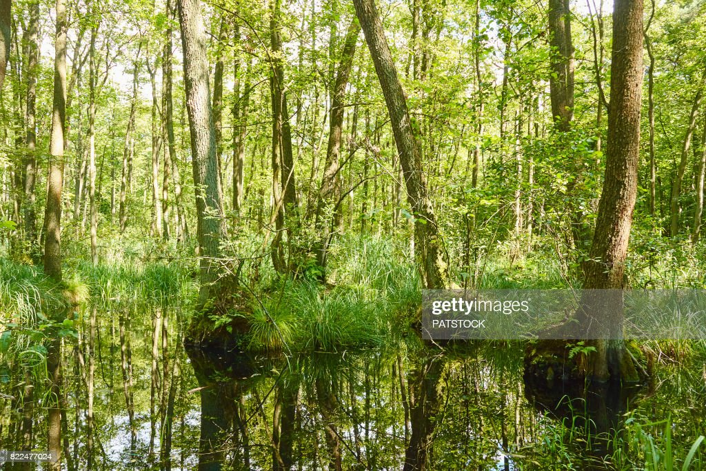 Forest mire : Stock Photo