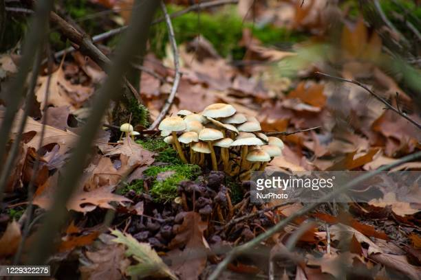 Forest mushrooms growing in a colony. Autumn season in the forest with orange, red and brown leaves from the trees and saturated fall nature colors...