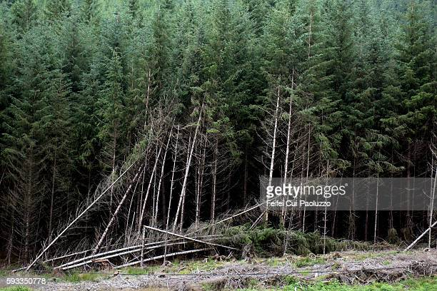 forest near tayvallich of argyll and bute in scotland - destruction stock pictures, royalty-free photos & images
