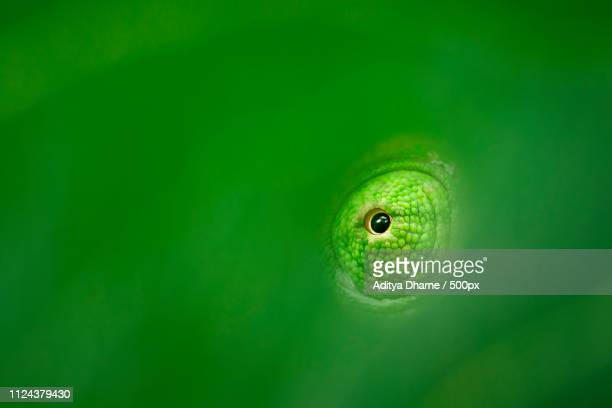 forest ninja - animal eye stock pictures, royalty-free photos & images