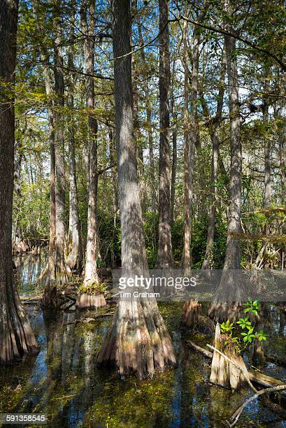 Forest of Bald cypress trees Taxodium distichum and reflections in swamp in the Florida Everglades USA