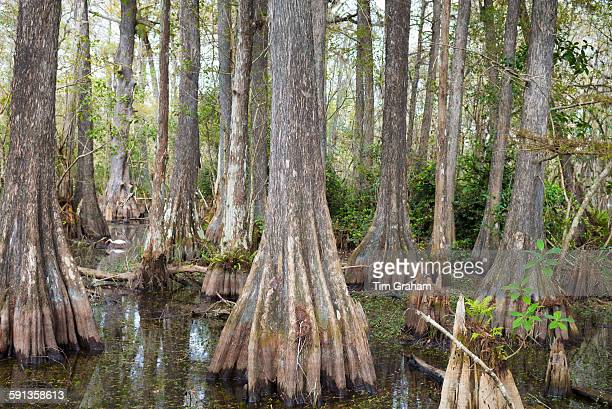 Forest of Bald cypress trees Taxodium distichum and swamp in the Florida Everglades United States of America
