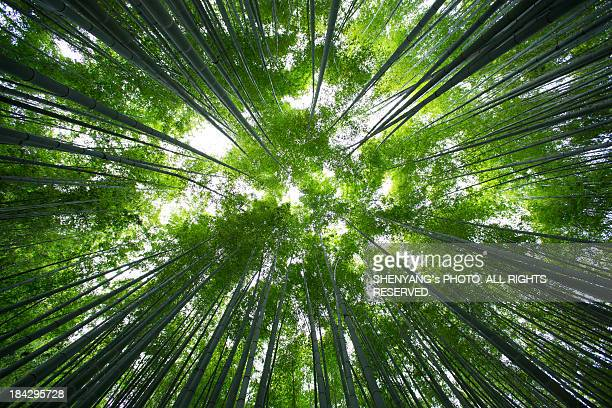 forest of bamboo - japanese tree stock photos and pictures