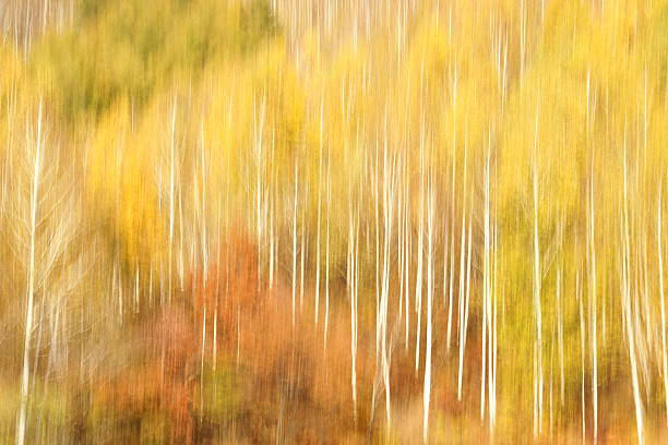 Forest of birch