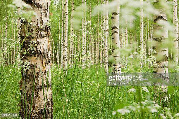 Forest of birch trees