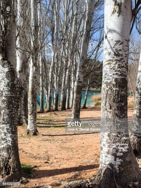 Forest of black poplars in winter close to a water lagoon. Natural park of the lagoons of ruidera