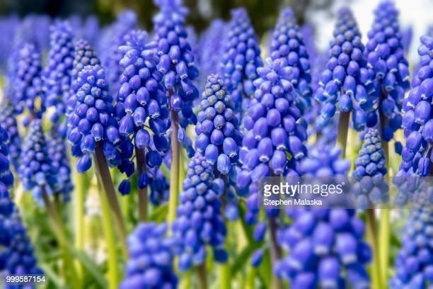 forest of blue grape hyacinth - grape hyacinth stock pictures, royalty-free photos & images