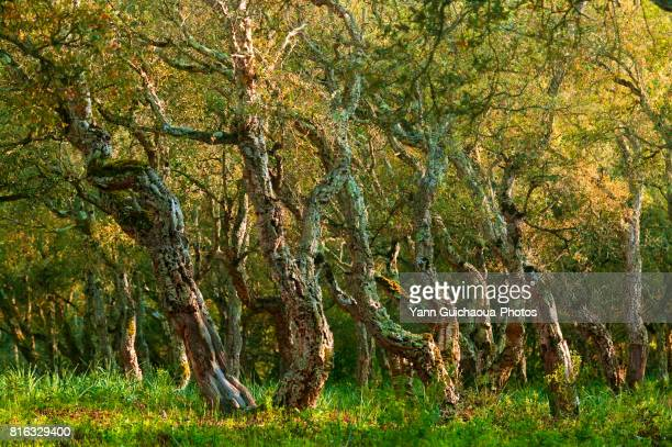 forest of chiavari, corsica, france - cork tree stock photos and pictures