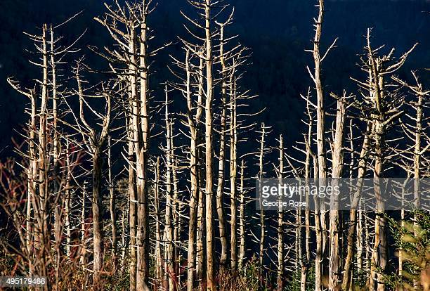 A forest of dead spruce and fir trees on the slopes of Mount Mitchell were killed by wood aphids years ago as viewed on October 6 2015 near Asheville...
