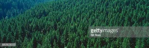 Forest of Douglas Firs