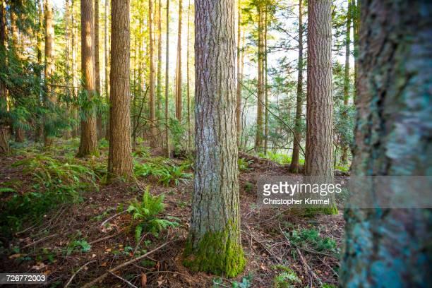 forest of douglas firs - tronc d'arbre photos et images de collection