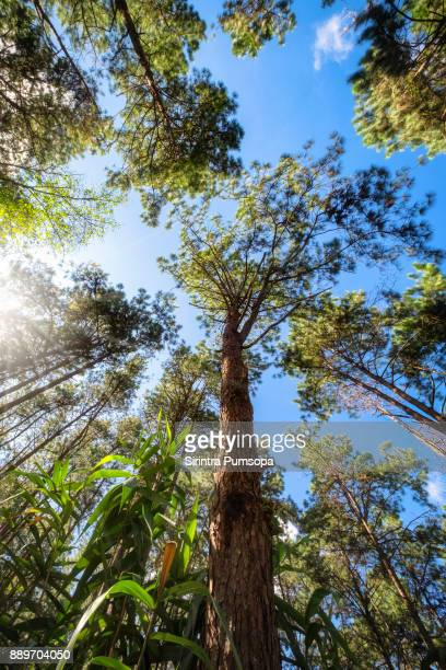 Forest of green pine trees with sunlight in the morning when looking up. Nature background