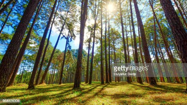 forest of green pine trees with sunlight in the morning when looking up. nature background - tall high stock pictures, royalty-free photos & images