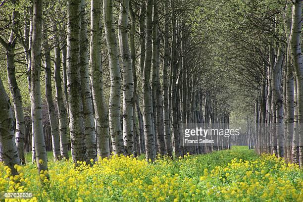 A forest of Grey poplars, Flevoland, the Netherlands