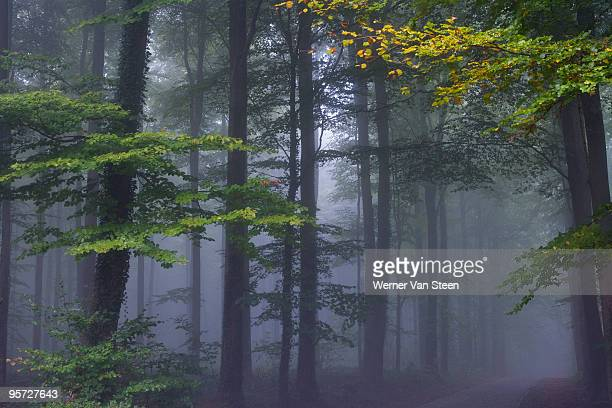 forest of halle in fall with fog, belgium - nature stockfoto's en -beelden