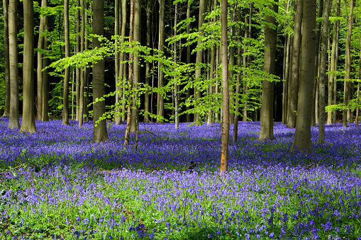 Forest of Halle (Hallerbos) with bluebell flowers, Halle, Belgium - gettyimageskorea