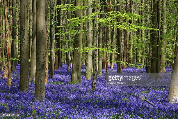 forest of halle (hallerbos) with bluebell flowers, halle, belgium - bluebell wood stock pictures, royalty-free photos & images
