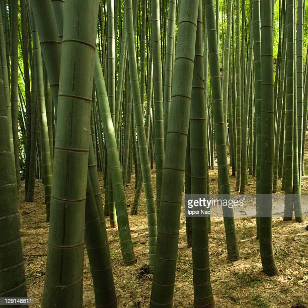 forest of japanese giant bamboo trees - ippei naoi stock photos and pictures