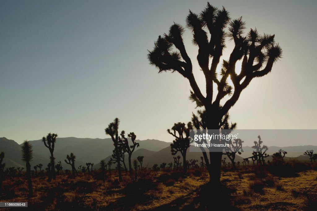 """""""Forest"""" of Joshua Trees silhouetted against mountains and a dark sky at dusk : Stock Photo"""