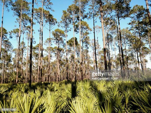 forest of palms and pines - kelli campbell stock pictures, royalty-free photos & images